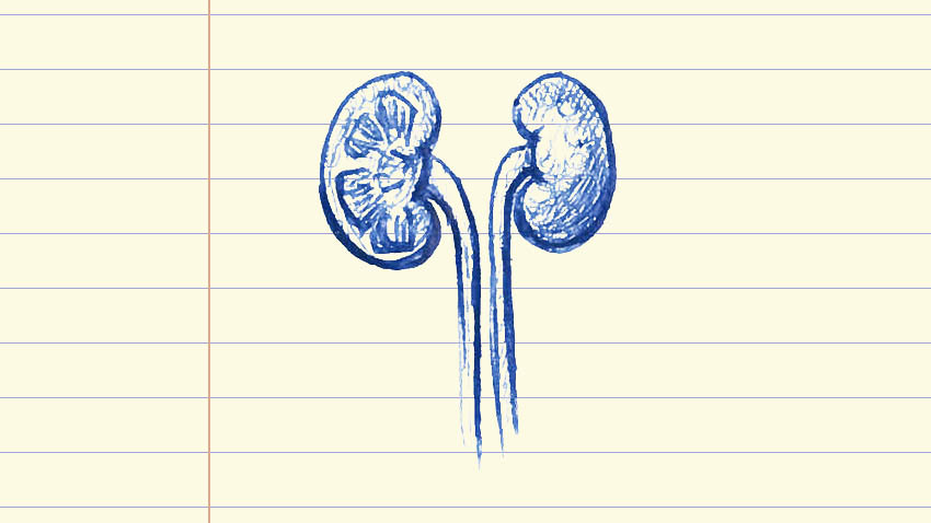 drawing of kidneys on lined paper