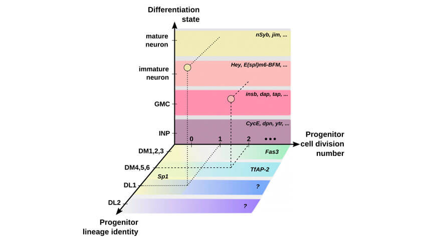 Colorful graph showing differentiation of cell division